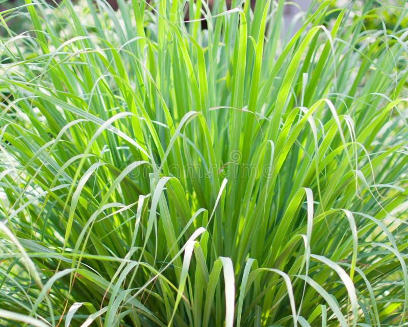 Le sch?nanthe ou le Lapine ou ? l'ouest Indien ont ?t? plant?s au sol C'est un arbuste, ses feuilles sont long et mince vert images stock