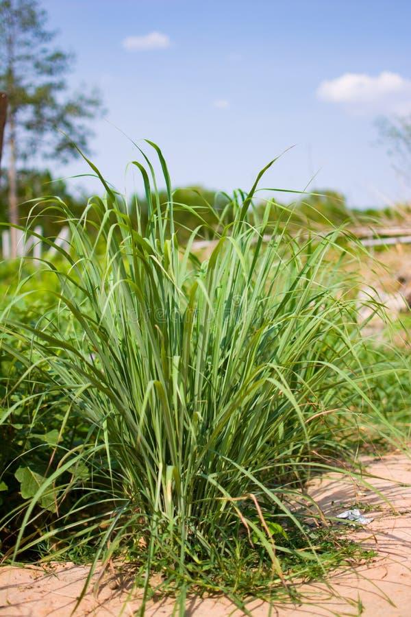 Le sch?nanthe ou le Lapine ou ? l'ouest Indien ont ?t? plant?s au sol C'est un arbuste, ses feuilles sont long et mince vert photos libres de droits