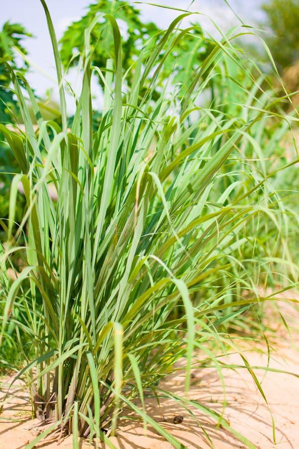 Le sch?nanthe ou le Lapine ou ? l'ouest Indien ont ?t? plant?s au sol C'est un arbuste, ses feuilles sont long et mince vert photo stock