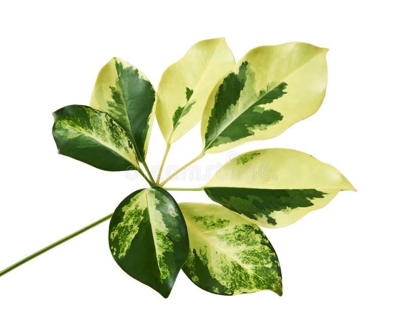 Le Schefflera a varié le ` de Capella d'or de ` de feuillage, feuille tropicale exotique, d'isolement sur le fond blanc avec le c images stock