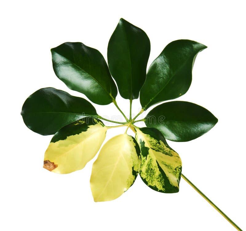 Le Schefflera a varié le ` de Capella d'or de ` de feuillage, feuille tropicale exotique, d'isolement sur le fond blanc avec le c photo stock