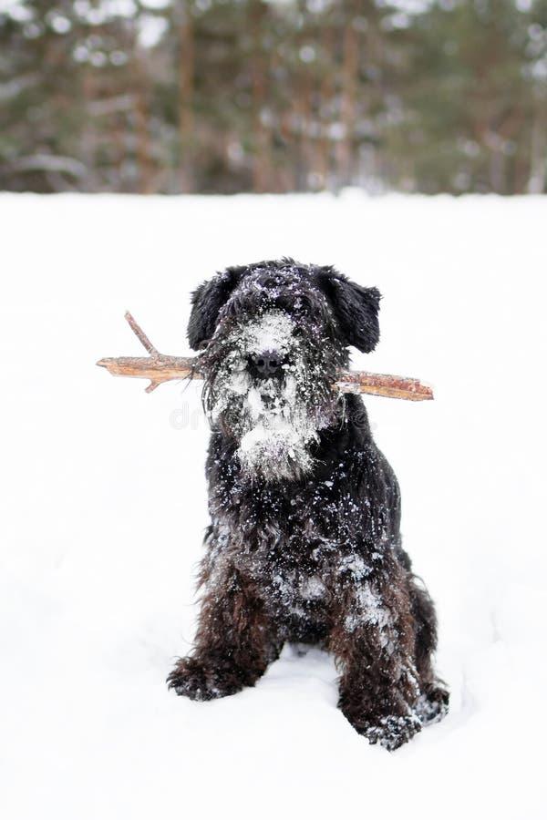 Le schnauzer miniature noir joue avec le bâton en parc d'hiver photographie stock