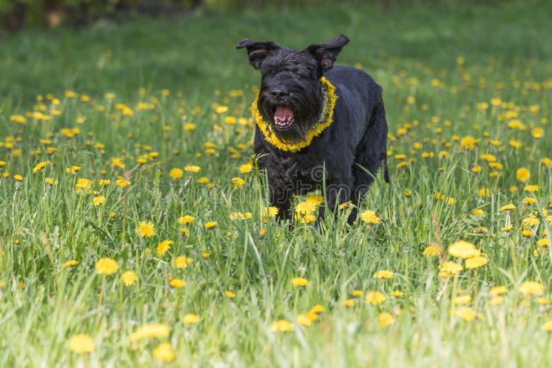 Le Schnauzer noir géant d'écorcement poursuivent la position chez le Dan de floraison photos libres de droits