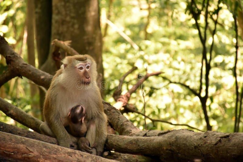 Le scimmie del bambino ricevono la cura da sua madre fotografie stock libere da diritti