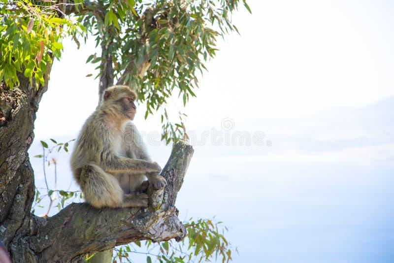 Le scimmie di macaco di Barbary di Gibilterra La sola popolazione selvaggia della scimmia sul continente europeo fotografia stock