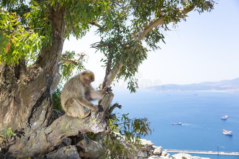 Le scimmie di macaco di Barbary di Gibilterra La sola popolazione selvaggia della scimmia sul continente europeo immagini stock libere da diritti
