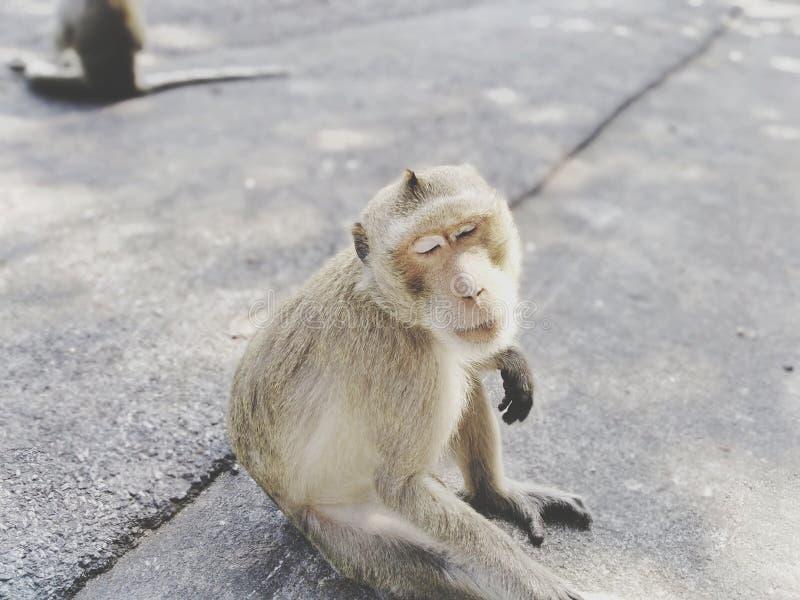 Le scimmie sveglie stanno sedendo confortevolmente sulla strada fotografie stock
