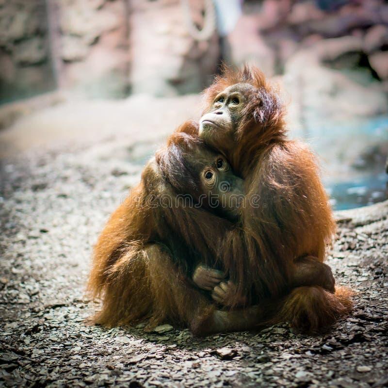 Le scimmie tenere pregano nell'abbraccio Scimmie nell'amore immagini stock libere da diritti