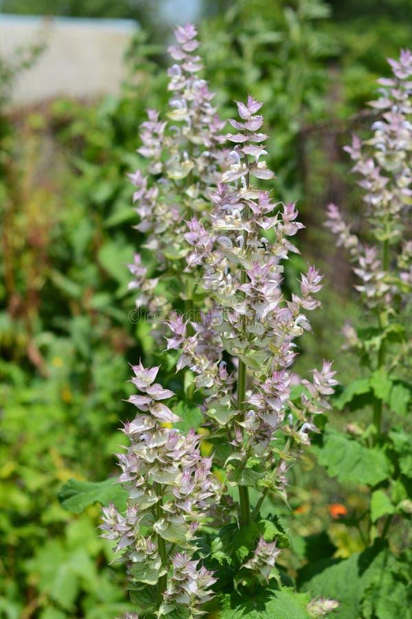 Le sclarea de Salvia, le clary ou sauge de clary, est un pluriannuel herbac? bisannuel ou de courte dur?e dans le genre Salvia images libres de droits