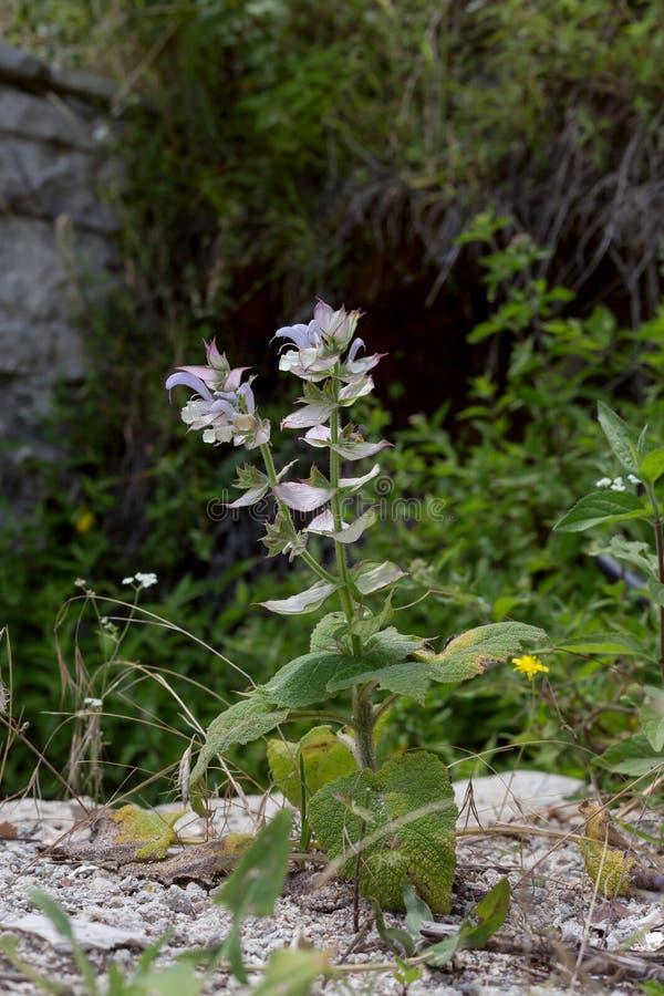 Le sclarea de Salvia d'usine fleurissante image stock