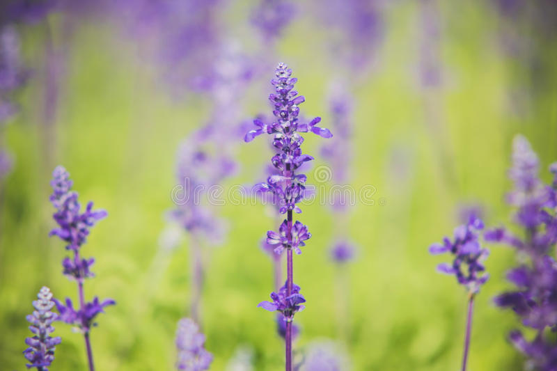 Le sclarea de Salvia fleurit l'herbe photo stock