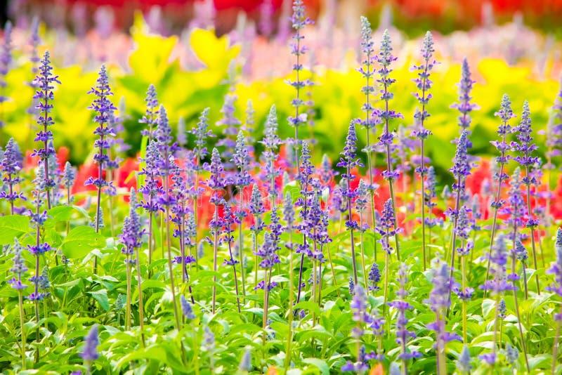 Le sclarea de Salvia fleurit l'herbe photographie stock