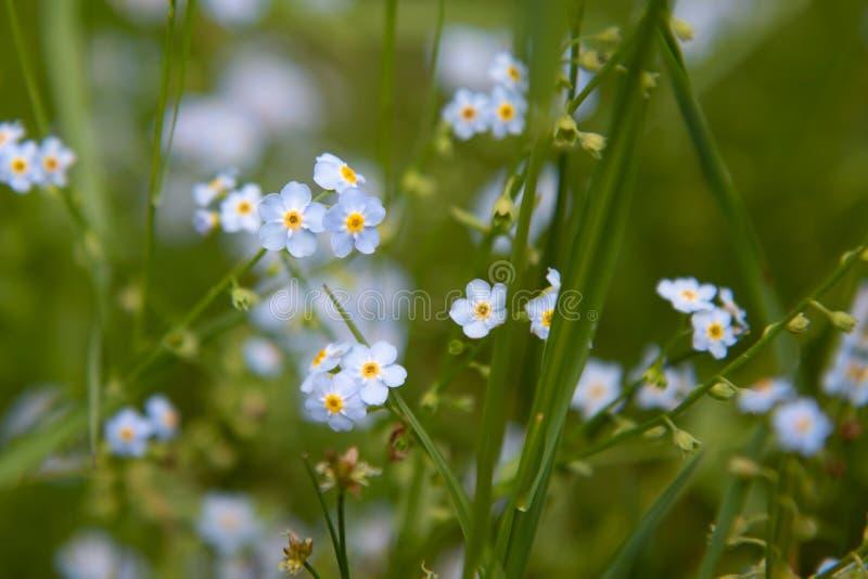 Le scorpion engazonne les fleurs bleues de myosotis en été image libre de droits