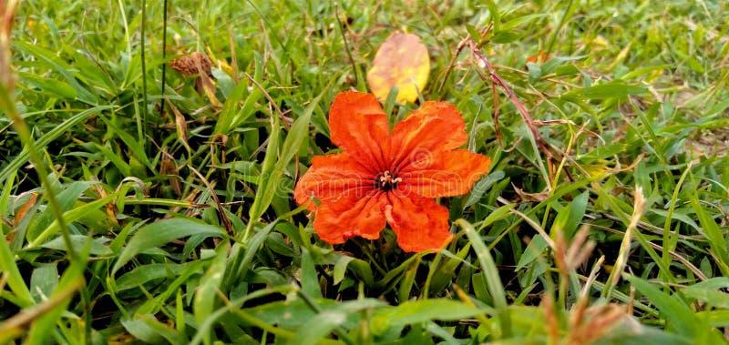 Le sebestena de Cordia est une fleur rouge sur l'herbe photo stock