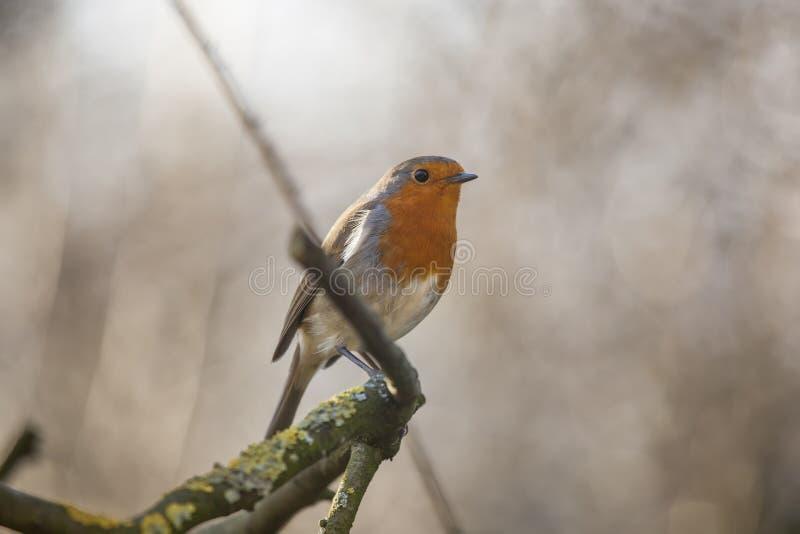 Le sein rouge de Robin était perché photos libres de droits