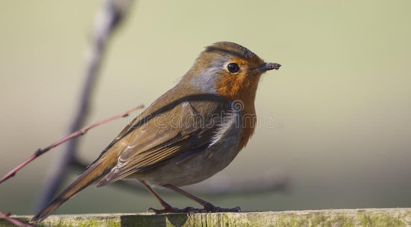 Le sein rouge de Robin était perché image libre de droits