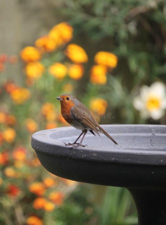 Le sein rouge de Robin était perché sur un bain d'oiseau photos stock