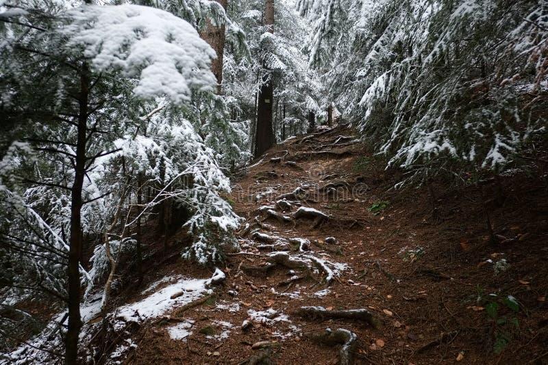 Le sentier de randonnée de saleté par la neige a couvert la forêt impeccable de pin dans la saison d'hiver photo stock