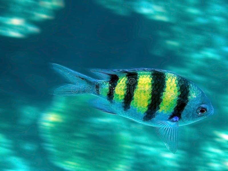 Le sergent Major ou poissons de pÃntano photos stock
