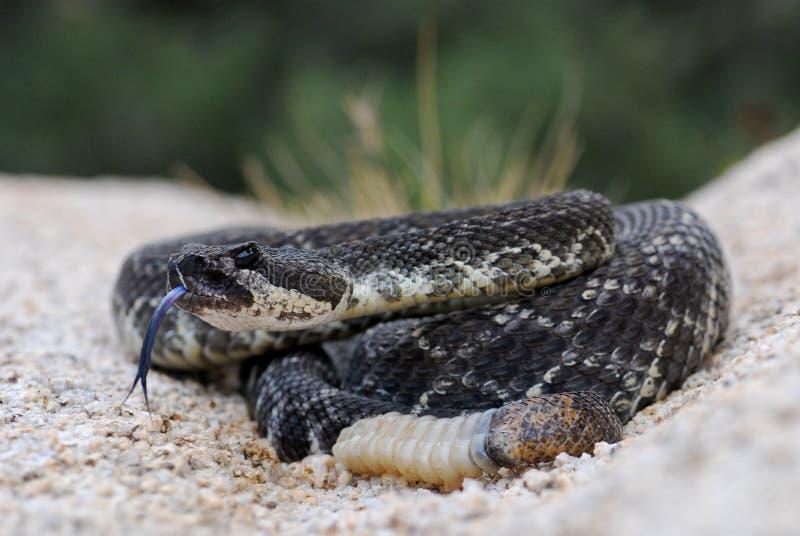 Le serpent à sonnettes Pacifique méridional effleure sa langue photos stock