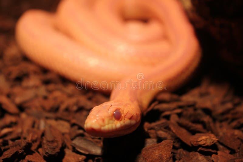 Le serpent d'herbe est muer/Ringelnatter images libres de droits