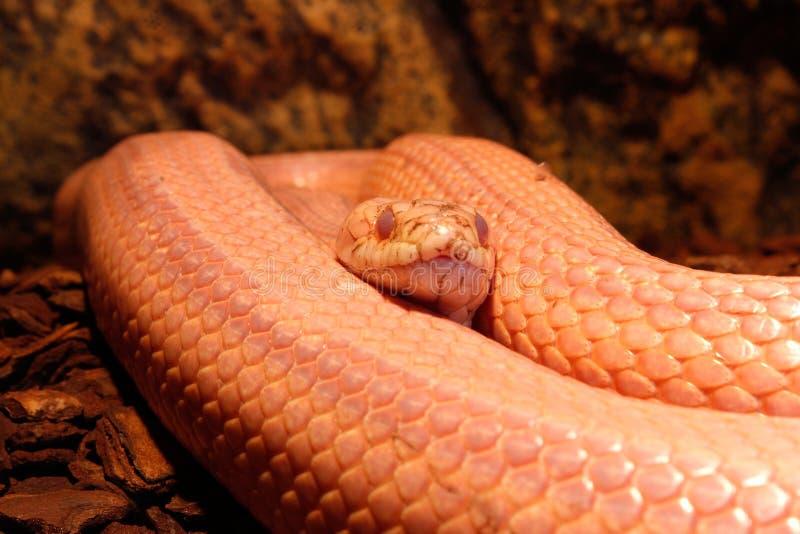 Le serpent d'herbe mue - Ringelnatter images libres de droits