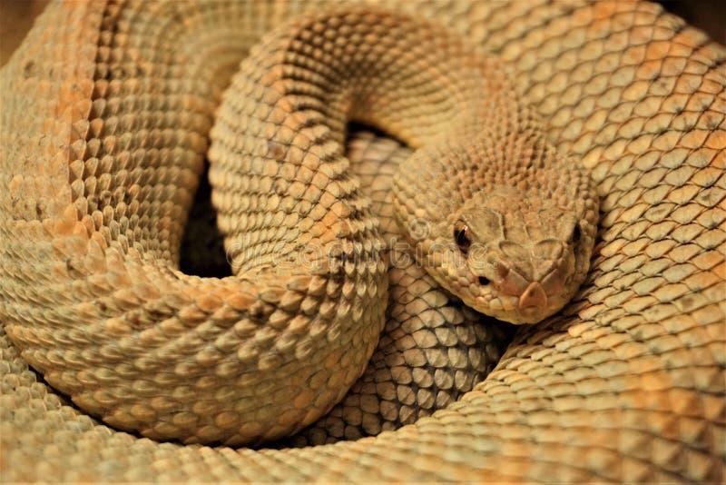 Le serpent lové avec le sable des échelles de couleurs image stock