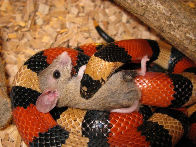 Le serpent mangent la souris photo libre de droits