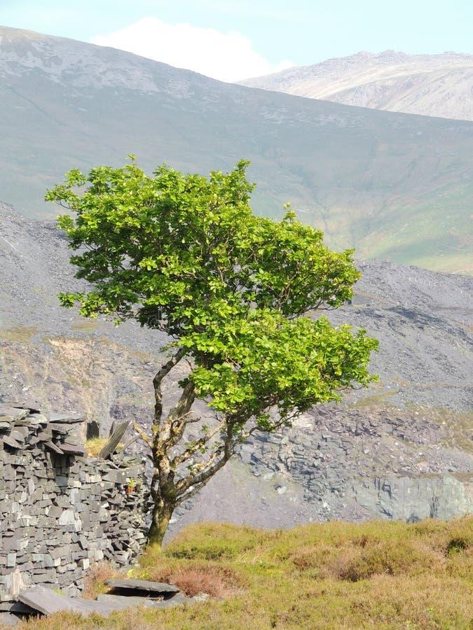 Le seul arbre photos stock