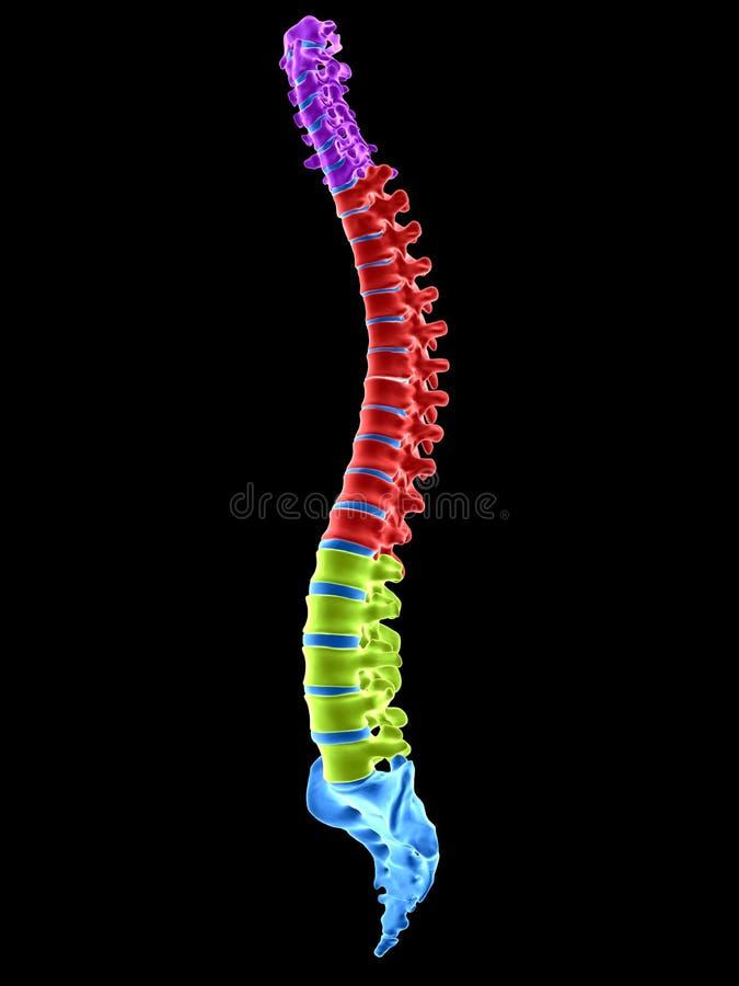 Le sezioni della spina dorsale illustrazione di stock