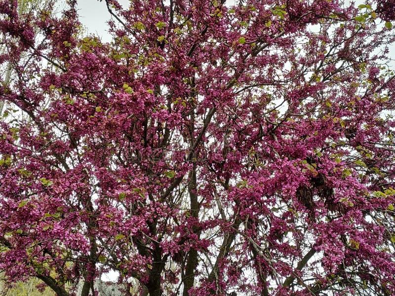Le siliquastrum de Cercis, a g?n?ralement appel? l'arbre d'amour les fleurs lilas Dans le provicia de l'Espagne de la ville de Ma image stock
