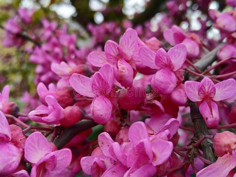 Le siliquastrum de Cercis, a g?n?ralement appel? l'arbre d'amour les fleurs lilas Dans le provicia de l'Espagne de la ville de Ma photographie stock libre de droits