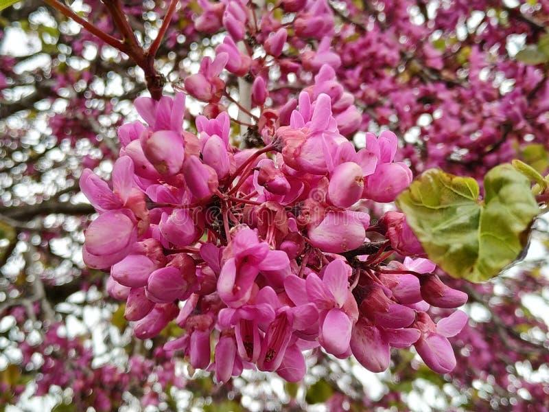 Le siliquastrum de Cercis, a g?n?ralement appel? l'arbre d'amour les fleurs lilas Dans le provicia de l'Espagne de la ville de Ma photographie stock