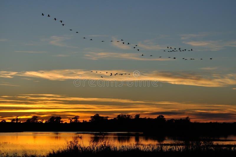 Le siluette di Sandhill Cranes il volo dopo il tramonto immagini stock