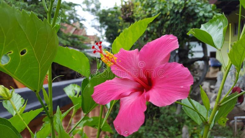 Le sinensis de rosa de ketmie, Chine s'est levé, mauve ou shoeblackplant avec une belle couleur rose photographie stock libre de droits