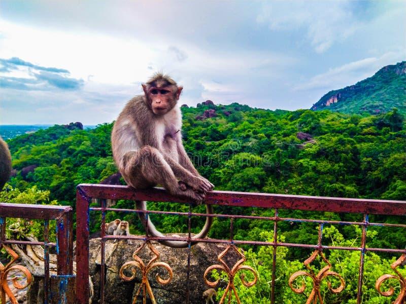 Le singe était mignon sur le sommet de la montagne près de papanasam photos libres de droits