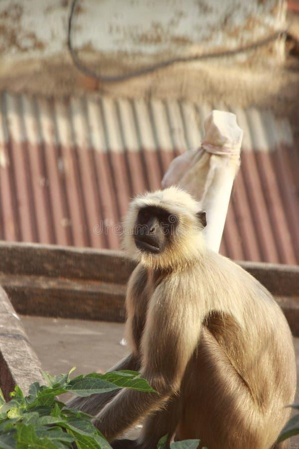 Le singe photographie stock