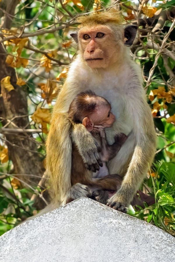 Le singe alimente son enfant image stock