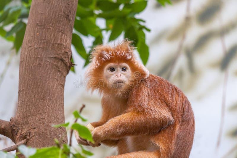 Le singe d'auratus de Trachypithecus de lutung de Javan photo stock