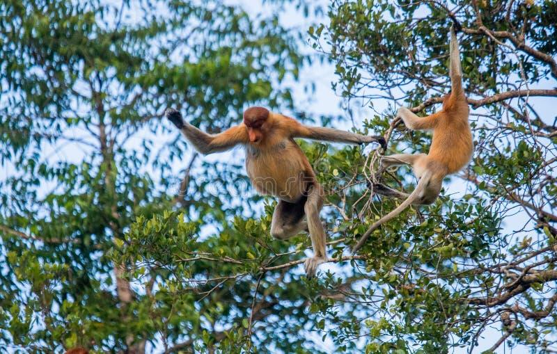 Le singe de buse saute de l'arbre à l'arbre dans la jungle l'indonésie L'île du Bornéo Kalimantan image stock