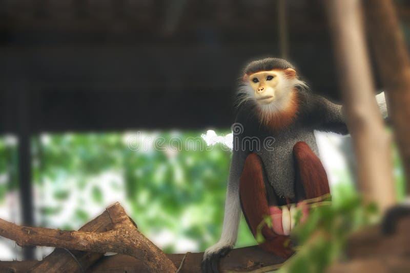 Le singe de Langur se repose et la branche de prise de l'arbre, recherchant le somethin photo libre de droits