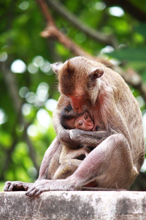 Le singe de mère allaite au sein sa chéri image stock