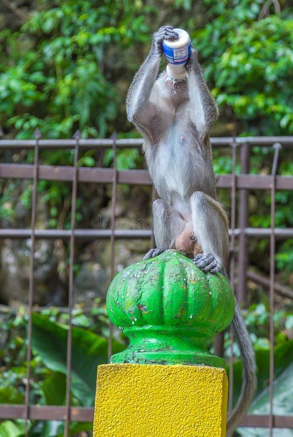 Le singe de Macaque avec l'ordure Batu foudroie en Kuala Lumpur, Malaisie, A photographie stock libre de droits
