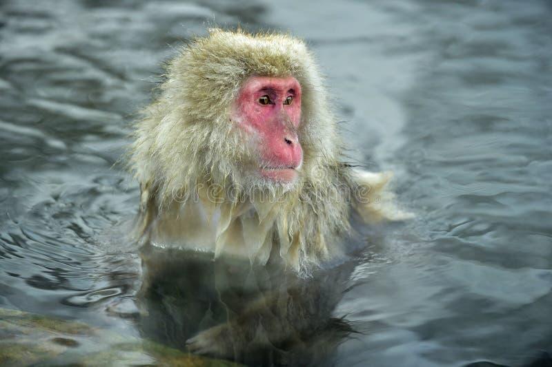 Le singe de neige dans un naturel onsen la source thermale, située dans le parc de Jigokudani, Yudanaka photos libres de droits