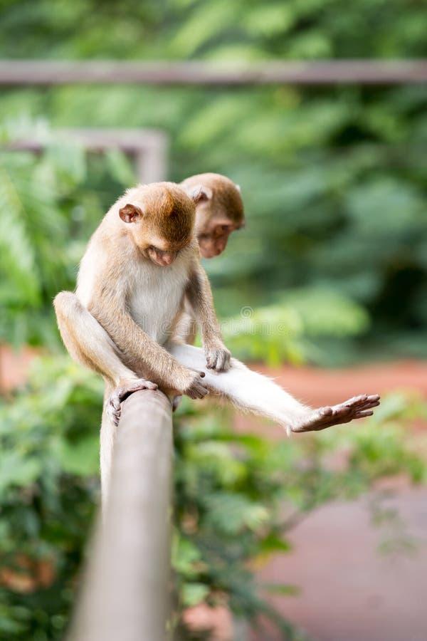 Le singe deux se reposent sur la barrière photo libre de droits