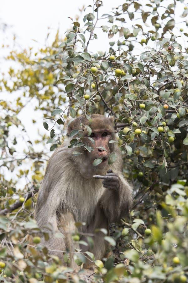 Le singe mange des fruits arboricoles photo stock