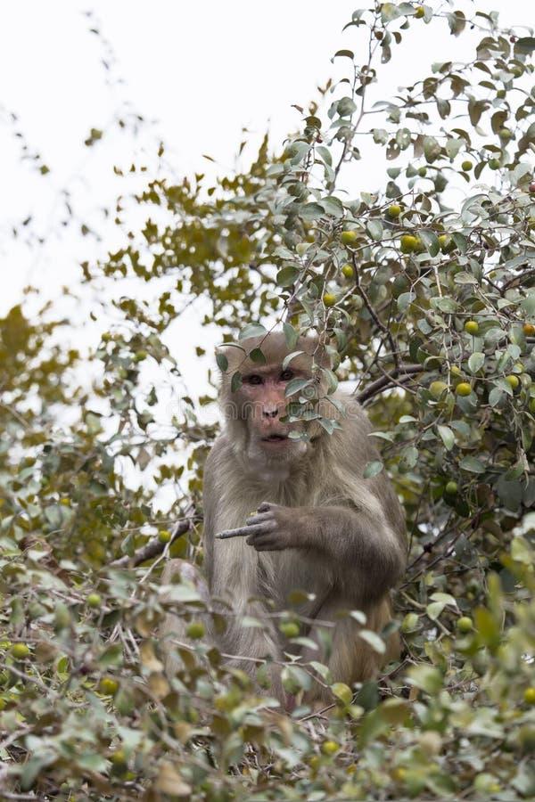Le singe mange des fruits arboricoles photographie stock libre de droits