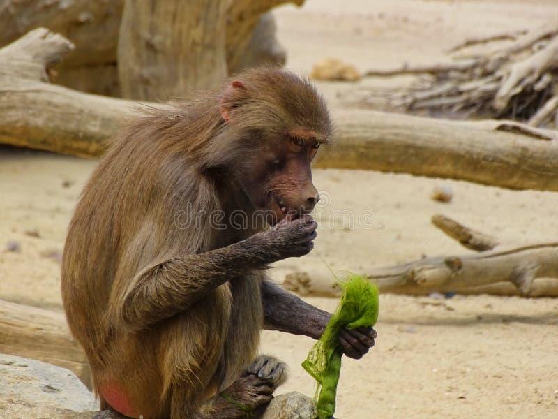 Le singe mange l'algue dans le zoo à Augsbourg images libres de droits