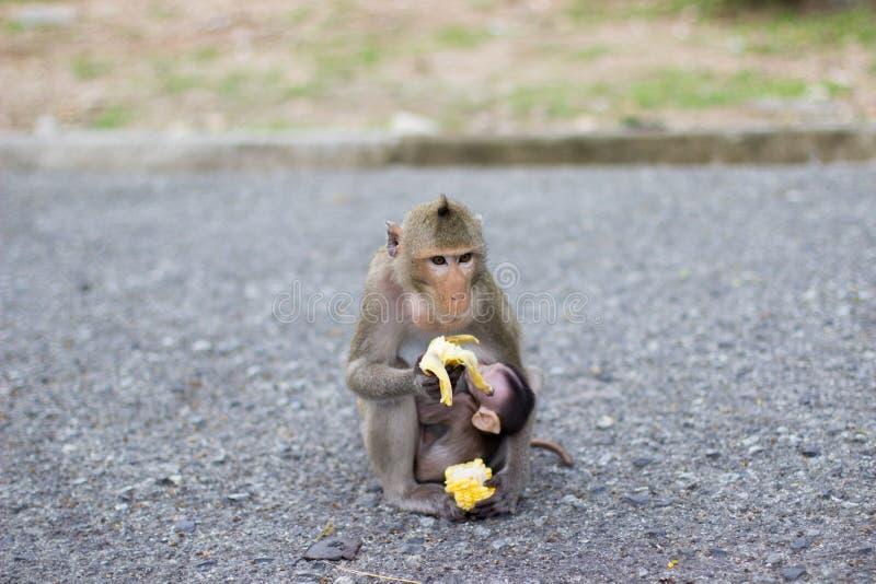 Le singe mange la banane et le singe de bébé est lait boisson photo stock