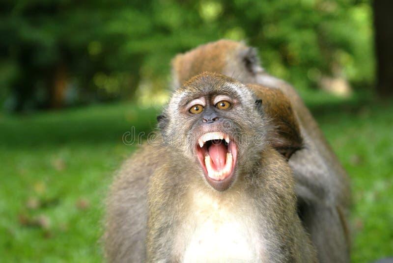 Le singe ouvrent sa bouche image libre de droits